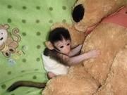 2 Капуцин обезьян для принятия.