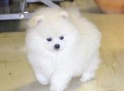 чистокровныйБелый Померанский Щенки Белый Померанский щенки