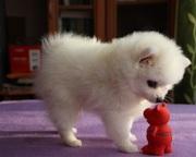 Элитные щенки померанского шпица
